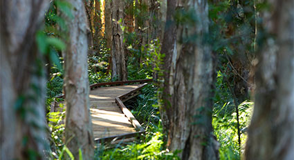 A boardwalk through the rainforest